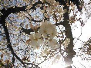 近くに咲いてたサクラです♪