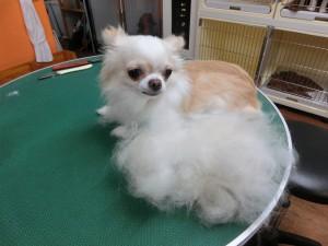 アタチのボディと大きさ変わらない綿がっ!